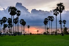 Sugar palm and rice filed at sunset Stock Photography