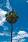 Sugar palm. And sky in thailand Royalty Free Stock Photos