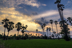 Sugar palm. Sunset behind palm mid-fields Stock Photos