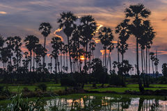 Sugar palm. Sunset behind palm mid-fields Royalty Free Stock Photos