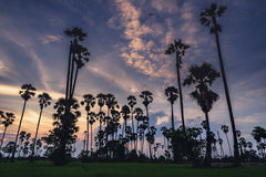 Sugar palm. Sunset behind palm mid-fields Stock Image