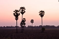 Sugar palm at sunset Stock Images
