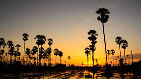 Sugar palm at sunset. Time Lapse. HD stock footage