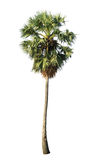 Sugar palm (toddy palm) Stock Photo