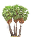 Sugar palm (toddy palm)  on white background Royalty Free Stock Photo