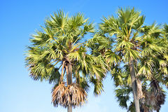 Sugar palm Royalty Free Stock Photography