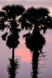 Sugar palm Royalty Free Stock Photo
