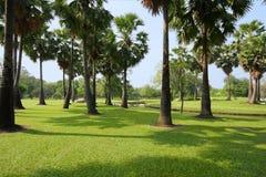 Sugar palm tree Stock Image