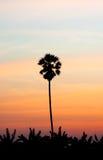 Sugar Palm Tree Stock Photos