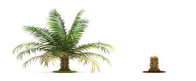 Sugar Palm Tree. Stock Photo