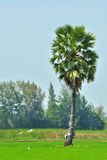 Sugar palm tree. Royalty Free Stock Photography
