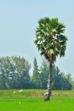 Sugar palm tree. Royalty Free Stock Photography