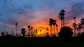 Sugar Palm Tree as  silhouette in sky sunset twilight time Royalty Free Stock Photo