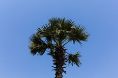 Sugar palm tree Royalty Free Stock Image