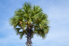 Sugar palm tree Royalty Free Stock Photography