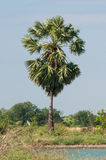 Sugar palm tree in blue sky Royalty Free Stock Photo