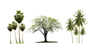 Sugar palm tree and coconut tree and Indian jujube tree isolated on white background. stock photos