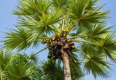 Sugar palm tree. Stock Images