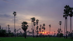 Sugar Palm Tree with green rice field as foreground in sky sunset  day to night twilight time lapse. Sugar Palm Tree with green rice field as foreground in sky stock video