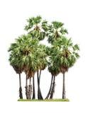 Sugar palm tree Stock Photo