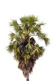 Sugar palm tree Royalty Free Stock Photo
