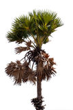 Sugar Palm tree isolated on white background. with clipping path Royalty Free Stock Photo