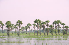Sugar palm tree. On the lake Royalty Free Stock Images