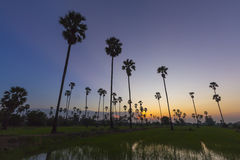 Sugar palm tree landscape in twilight Royalty Free Stock Photos