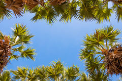Sugar palm tree leaves Stock Photography