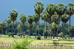 Sugar palm Royalty Free Stock Photos