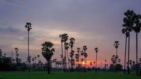 Sugar Palm Tree med den gröna risfältet som förgrund i himmelsolnedgångdag till schackningsperioden för nattskymningtid stock video