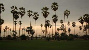 Sugar Palm Tree med den gröna risfältet som förgrund i skymningtidaftonen som panorerar med spårning som skjutas i HD lager videofilmer