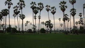 Sugar Palm Tree med den gröna risfältet som förgrund och blå himmel, vippar på upp med spårning som skjutas i HD arkivfilmer