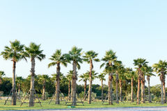 Sugar palm tree relocation plant. In the garden Royalty Free Stock Photography