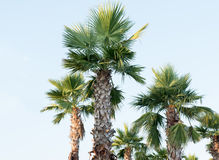 Sugar palm tree relocation plant. In the garden Stock Images