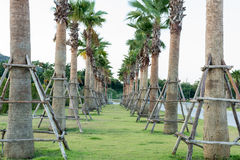 Sugar palm tree relocation plant. In the garden Royalty Free Stock Photos