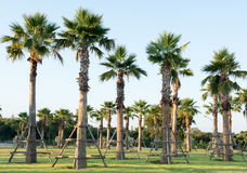 Sugar palm tree relocation plant. In the garden Stock Image