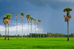 Sugar palm tree in rice field Royalty Free Stock Photo