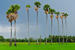 Sugar palm tree in rice field Royalty Free Stock Images