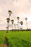 Sugar palm tree in rice field Royalty Free Stock Photos