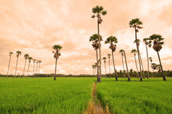 Sugar palm tree in rice field Stock Photography