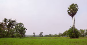 Sugar Palm tree in the rice field with the mist in the morning. Thailand stock video footage
