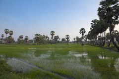 Sugar palm tree and rice field in Phetchaburi. Thailand Royalty Free Stock Image