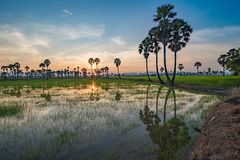 Sugar palm tree and rice field in sunset Stock Images