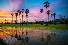 Sugar palm tree and rice sunset Royalty Free Stock Image