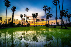 Sugar palm tree and rice sunset Royalty Free Stock Images