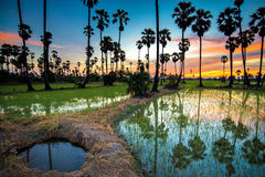 Sugar palm tree and rice sunset Royalty Free Stock Photography