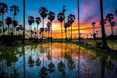Sugar palm tree and rice sunset Royalty Free Stock Image