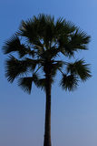 Sugar palm tree Stock Photo