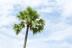Sugar palm tree and sky Stock Image